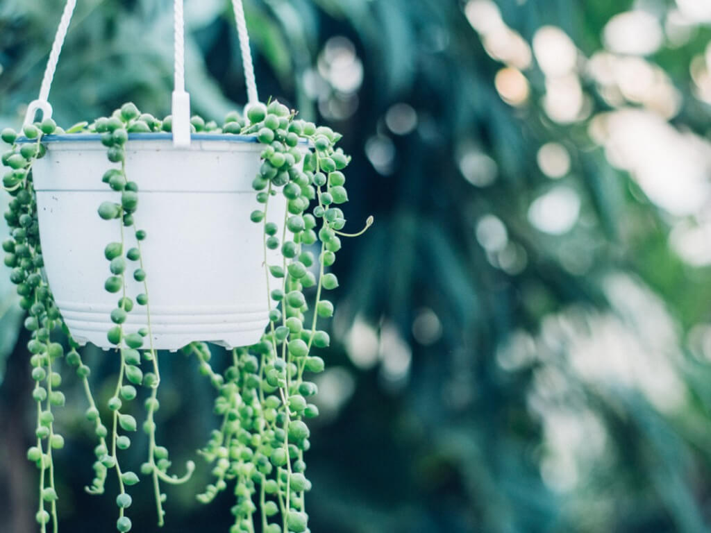 String of Pearls: best hanging plants